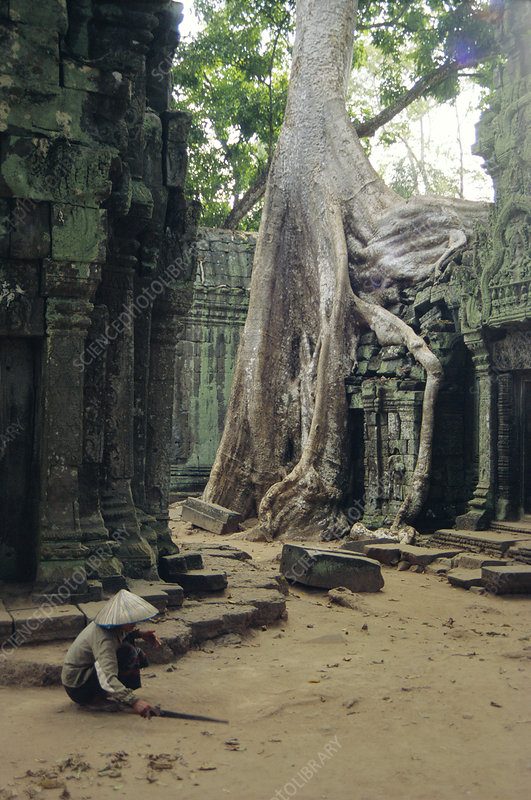 Wat Is Kapok.Roots Of A Kapok Tree Stock Image B700 0052 Science
