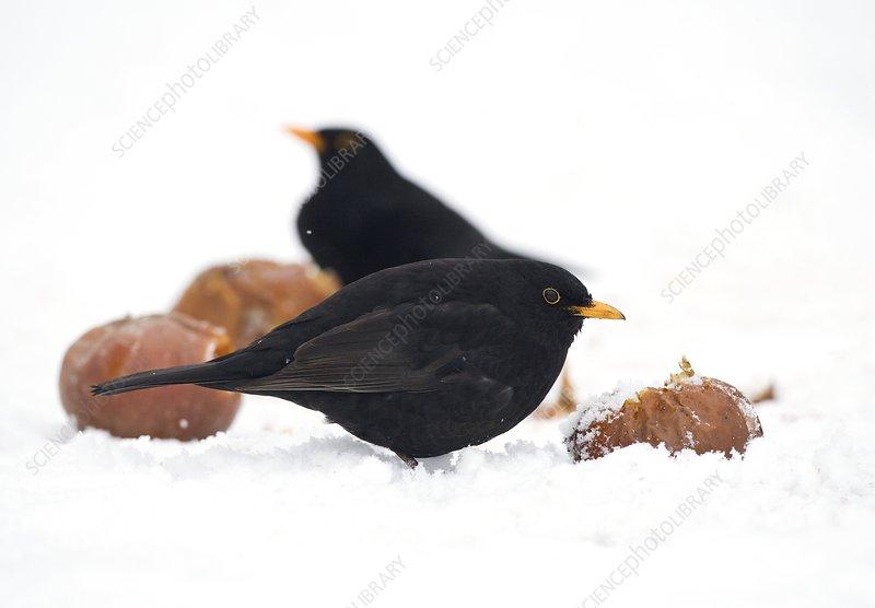 Blackbirds feeding on apples - Stock Image - C004/2084 - Science ...
