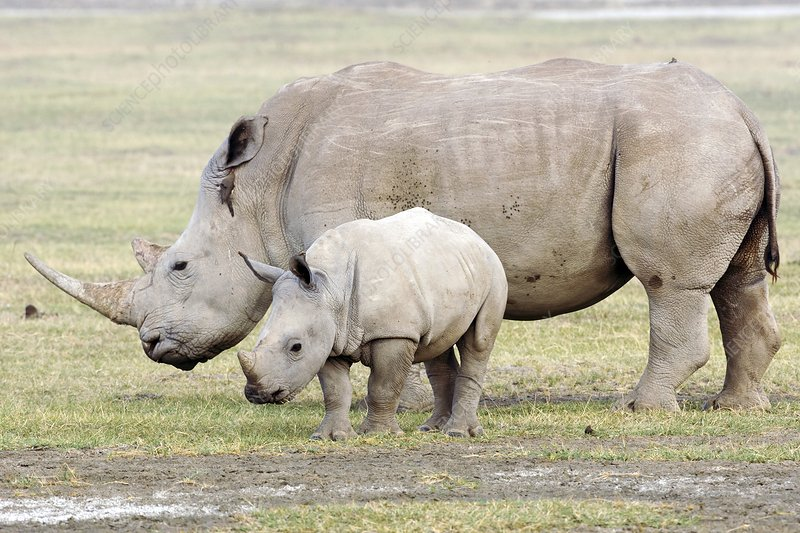 White Rhinoceroses Stock Image C006 8850 Science Photo Library