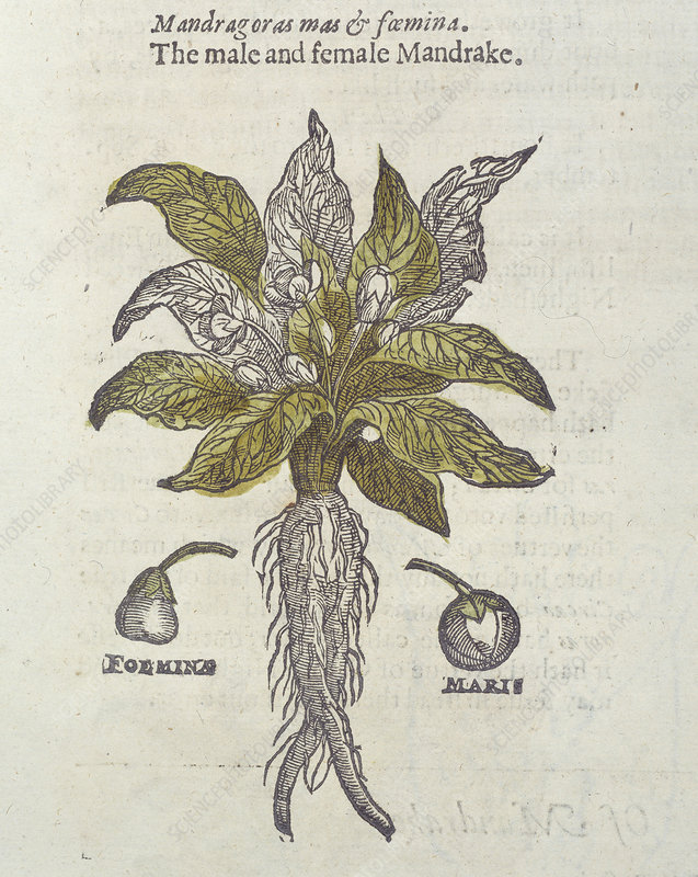 Mandrake Plant 17th Century Stock Image C010 8296 Science
