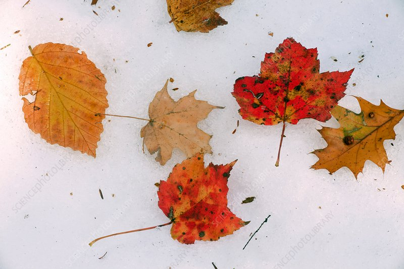 Autumn leaves on snow - Stock Image - C013/9909 - Science Photo Library