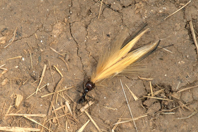 Ant Pulling Wheat - Stock Image - C014/3991 - Science Photo Library