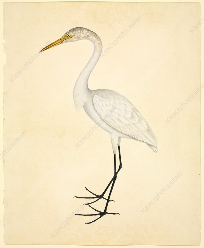 Great Egret 19th Century Stock Image C0165231