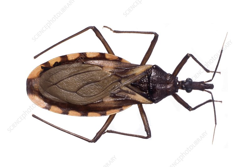 reduviid bug en español