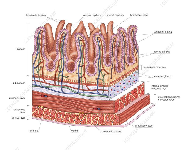 Diagram Small Intestine Labeled
