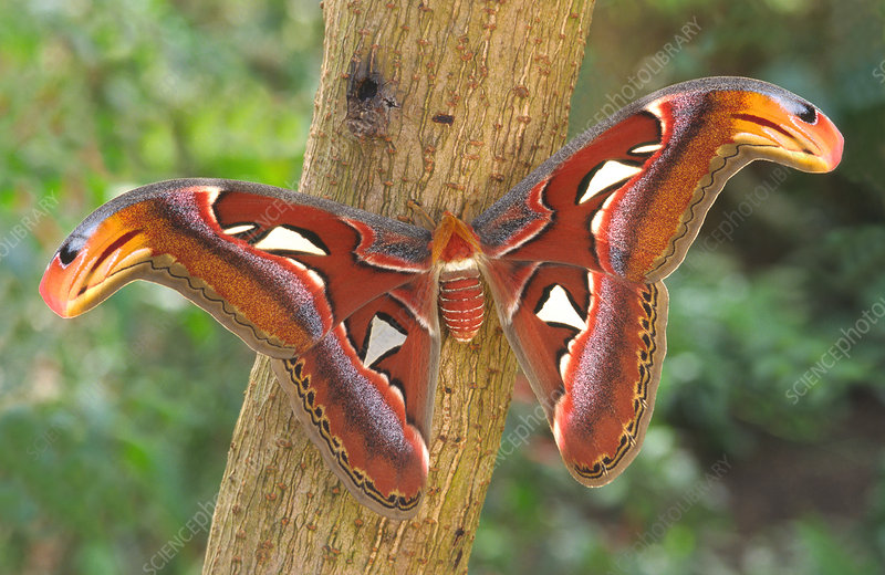 Giant Atlas Moth Stock Image C025 9847 Science Photo