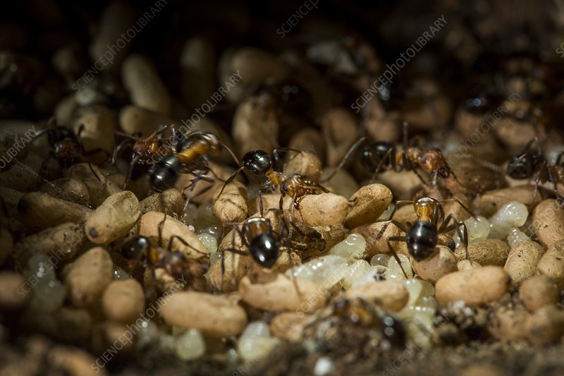 Allegheny Mound Ant Colony Stock Image C038 8151 Science Photo Library