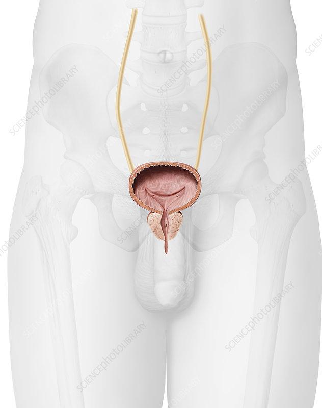 prostata urinarem