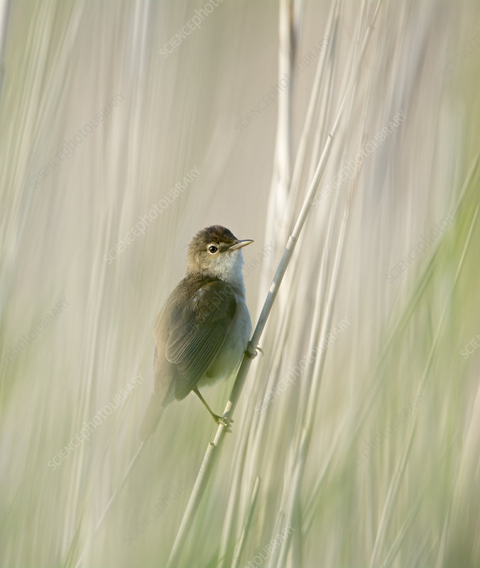 Reed Warbler Perched Cley Norfolk Uk June Stock Image C041 1648 Science Photo Library