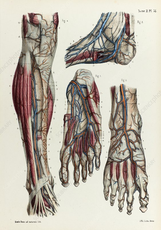 Lower Leg And Foot Veins 1866 Illustration Stock Image C042 4621 Science Photo Library