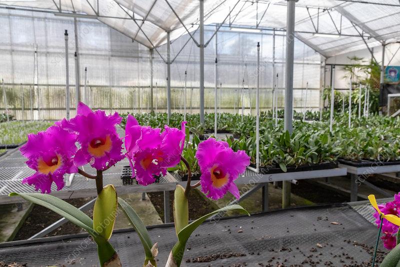 Orchid Nursery Gardens Hawaii Stock