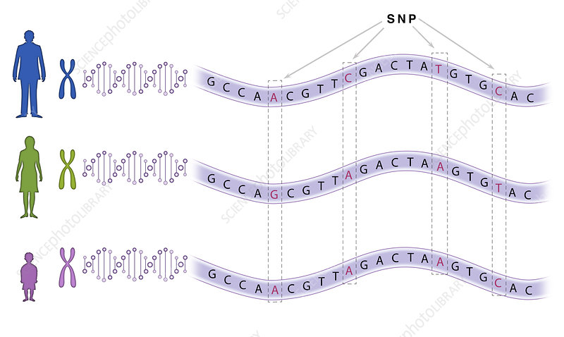 Single Nucleotide Polymorphism (SNP) - Stock Image - C044/6124 ...