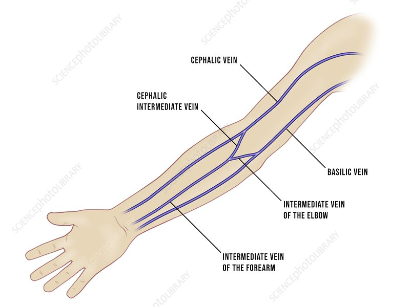 Venous cannulation sites in the arm, illustration - Stock Image - C046/1432  - Science Photo LibraryScience Photo Library