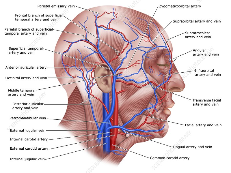 superficial blood vessels
