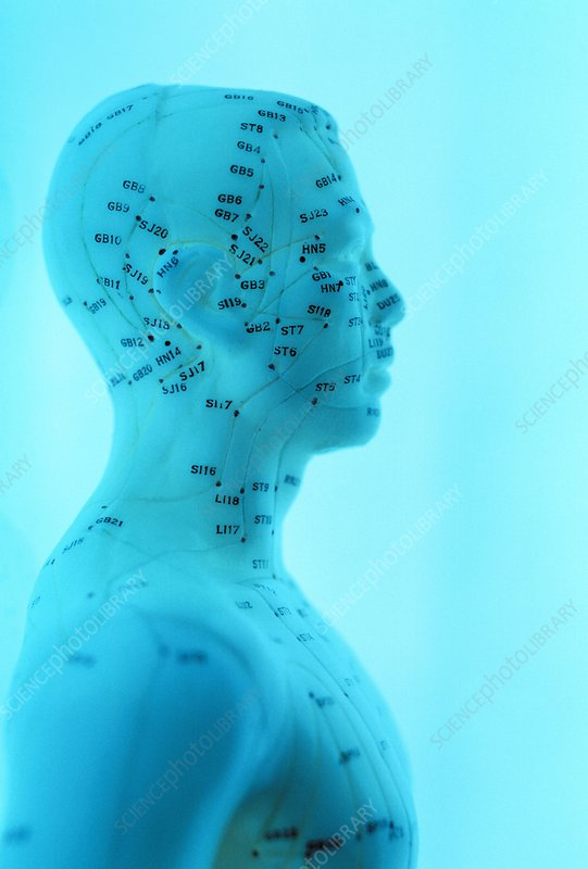 Acupuncture model - Stock Image - F001/1493 - Science Photo Library