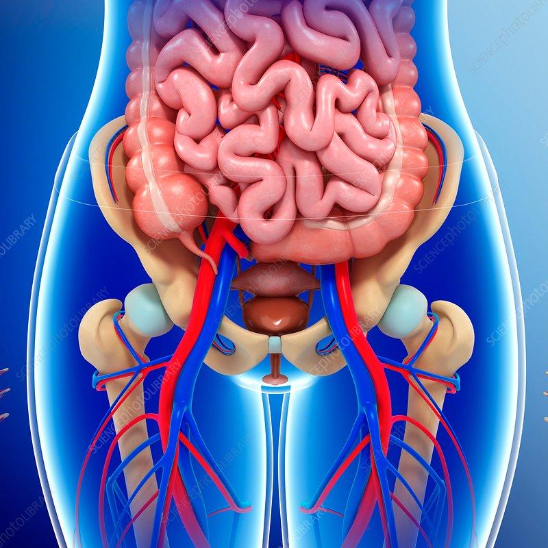 female pelvic organs, illustration - stock image - f016/4770 - science  photo library