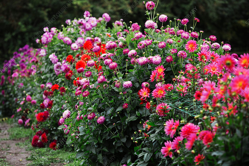 Summer Flowering Plants Stock Image F017 6254 Science Photo