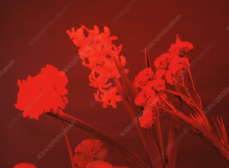 Flowers under red light
