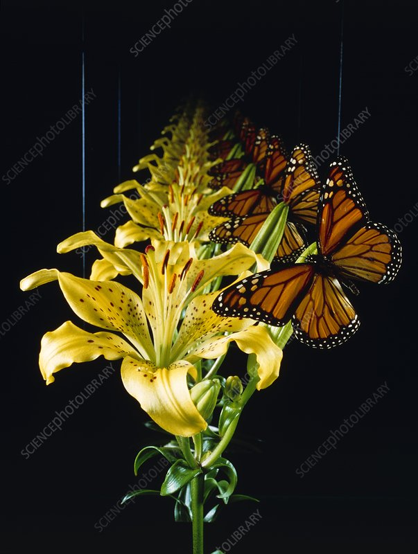 Infinite regression: butterfly on orchid