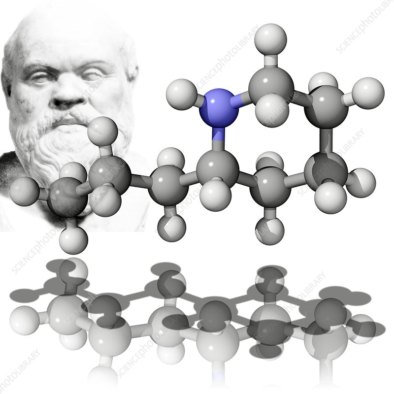 Coniine poison and Socrates, a victim