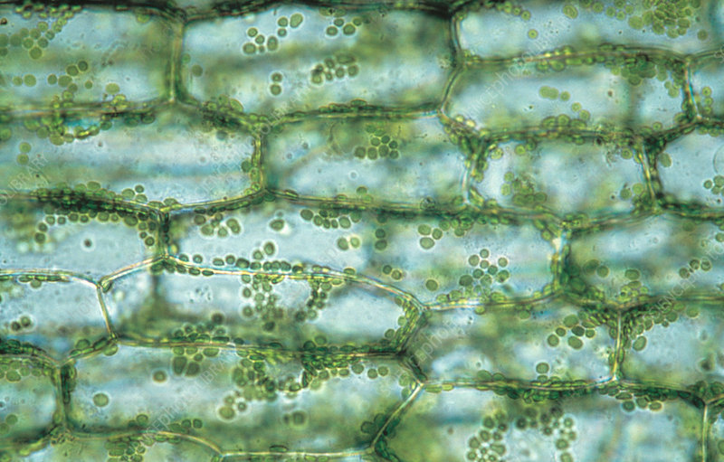 Cells in canadian pondweed leaf, Elodea