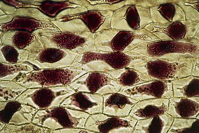 Light micrograph of a wilted iris petal