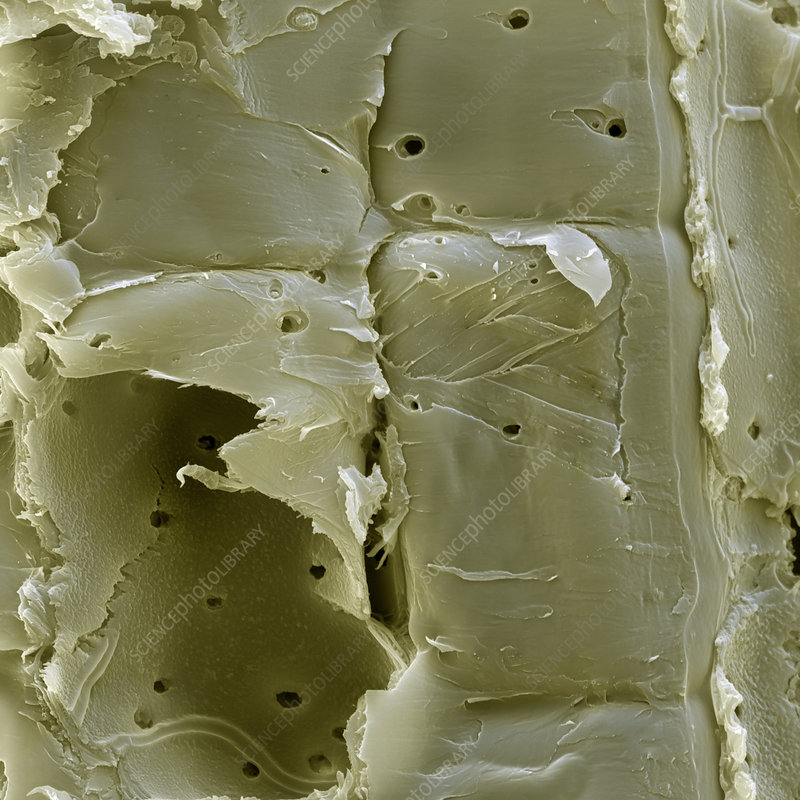 Bamboo plant cell wall, SEM
