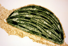 TEM of a chloroplast from a tobacco leaf