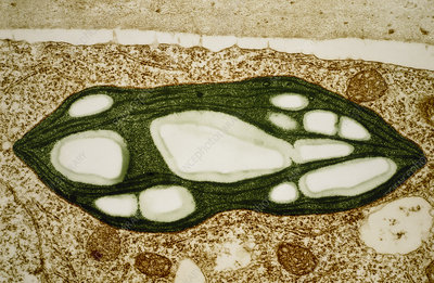 TEM of a chloroplast from a moss