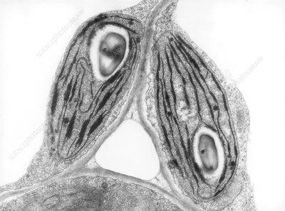 TEM of chloroplasts