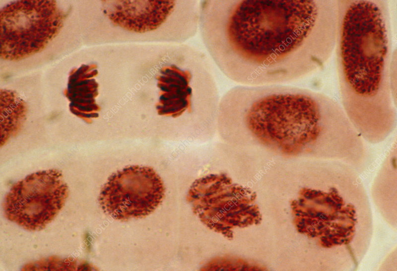 mitosis in garlic root tips Observing mitosis the purpose of this experiment is to prepare a slide of actively dividing plant tissue and to then we cut off some root tips from garlic.