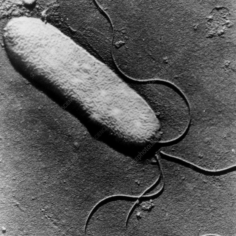 TEM of Pseudomonas syringae bacterium