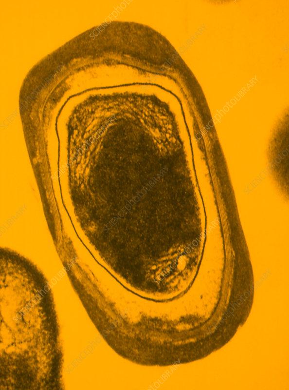 TEM of bacillus subtilis bacterium