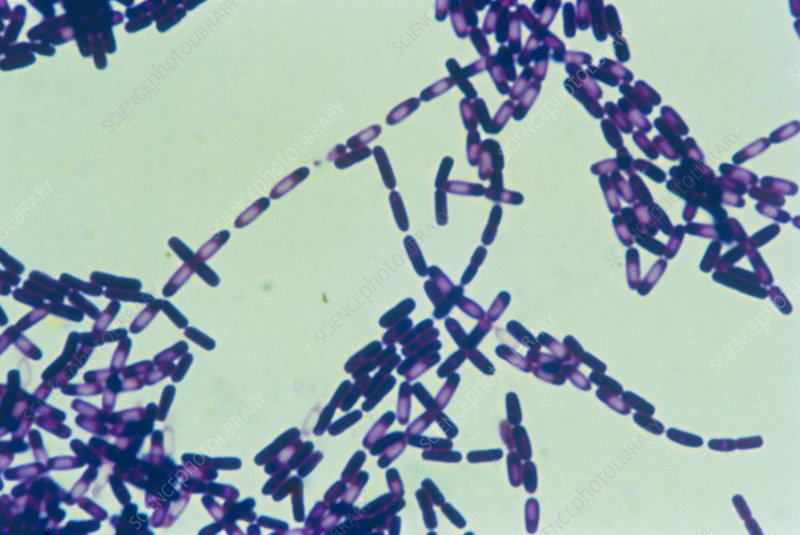 Colony of Bacillus subtilis bacteria