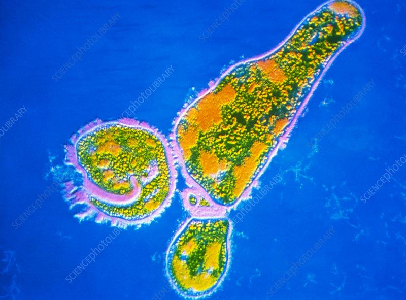 Bordetella pertussis bacterium