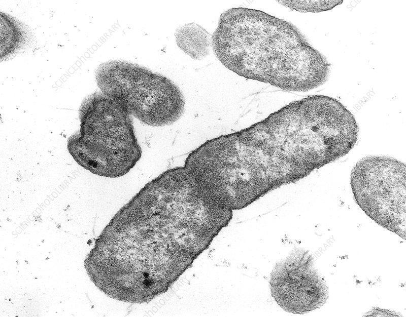 Salmonella typhimurium bacteria