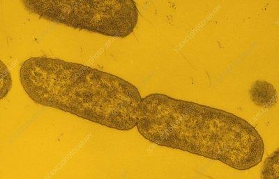 Salmonella typhimurium bacteria dividing
