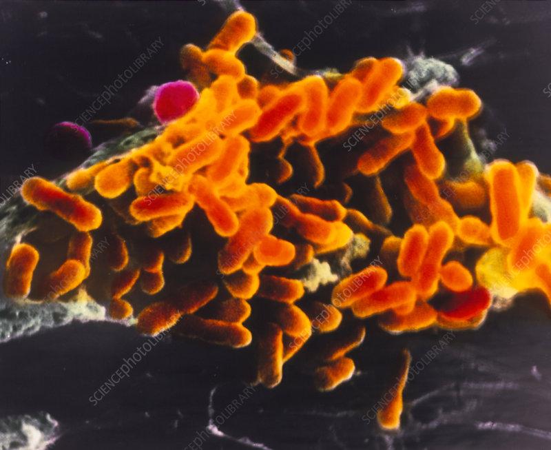 Rickettsia prowasekii bacteria