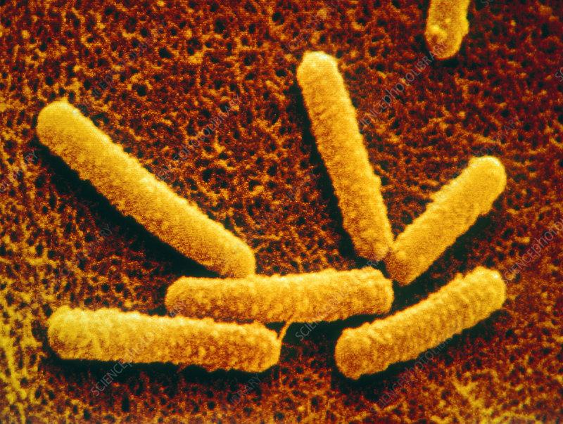 Coloured SEM of Bacillus subtilis