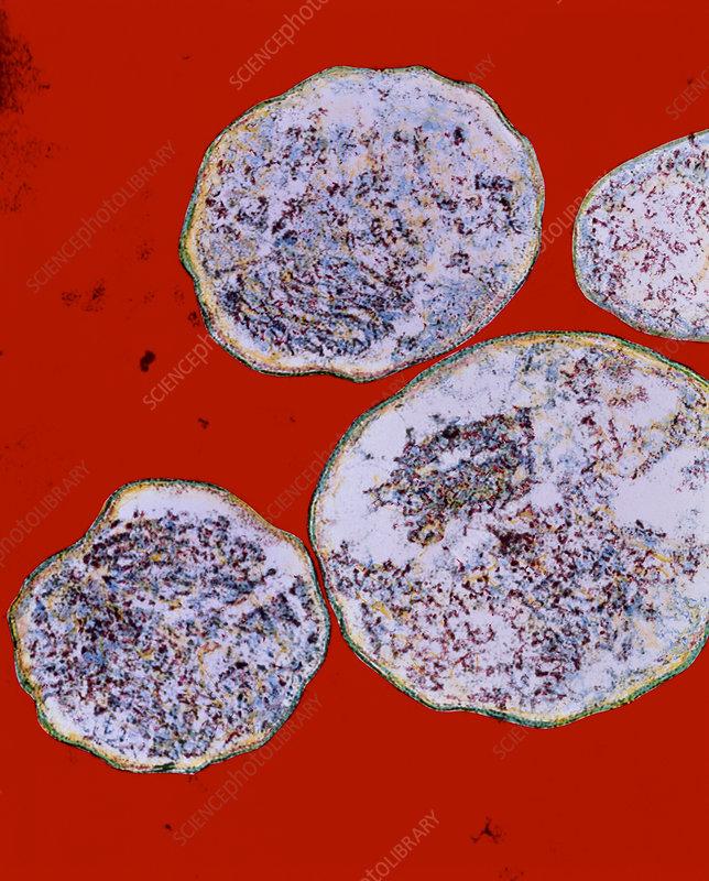 Chlamydia trachomatis bacteria
