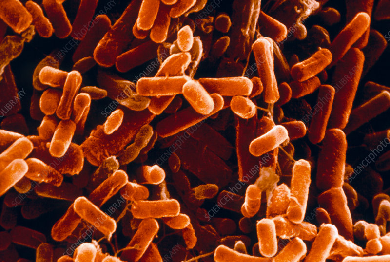 Pseudomonas bacteria in lung