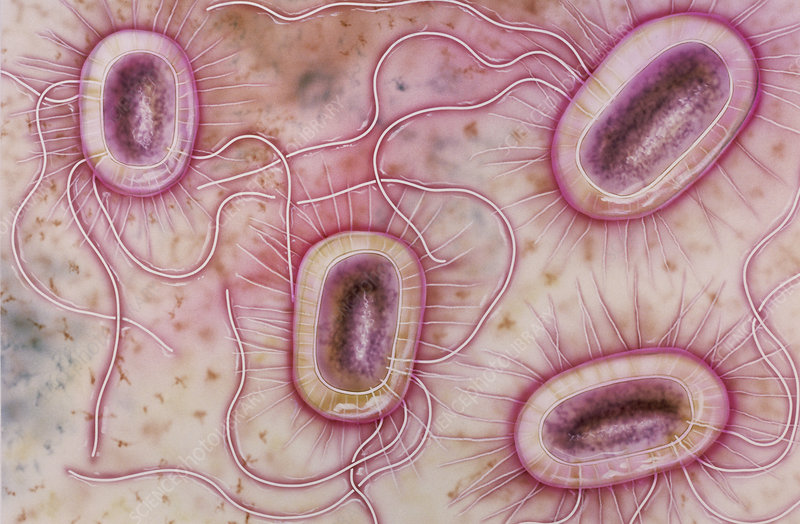 Artwork of Escherichia coli bacteria