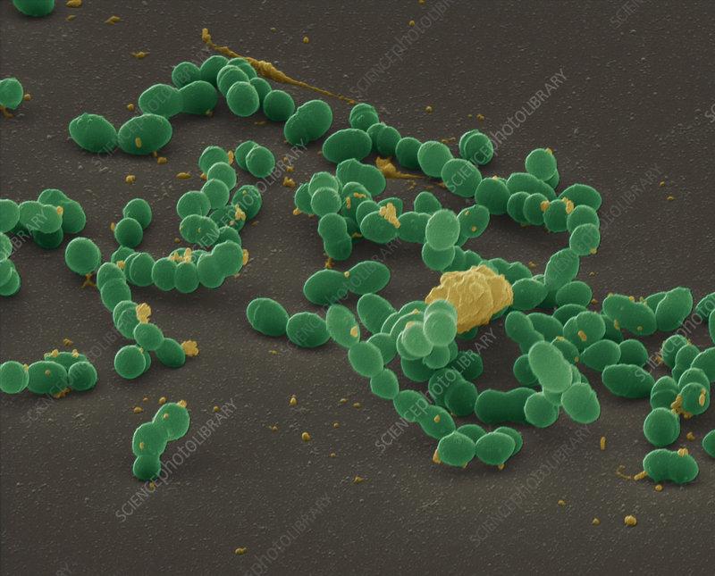 Streptococcus mutans bacteria