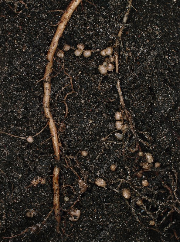 Nitrogen-fixing root nodules of bean plant