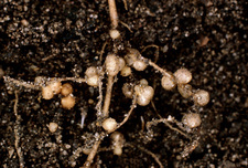 Nodules of Rhizobium legumonosarum