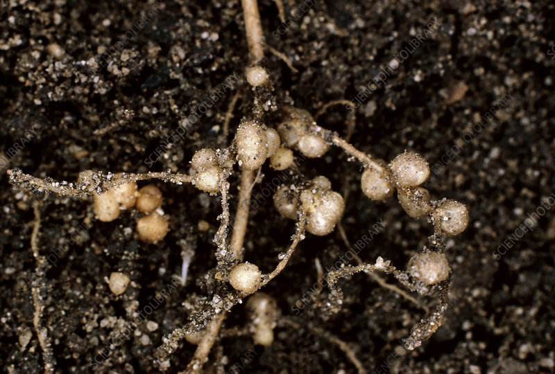 Nodules of Rhizobium legumonosarum - Stock Image - B238/0024 ...