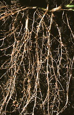 Nitrogen-fixing root nodules of clover plant