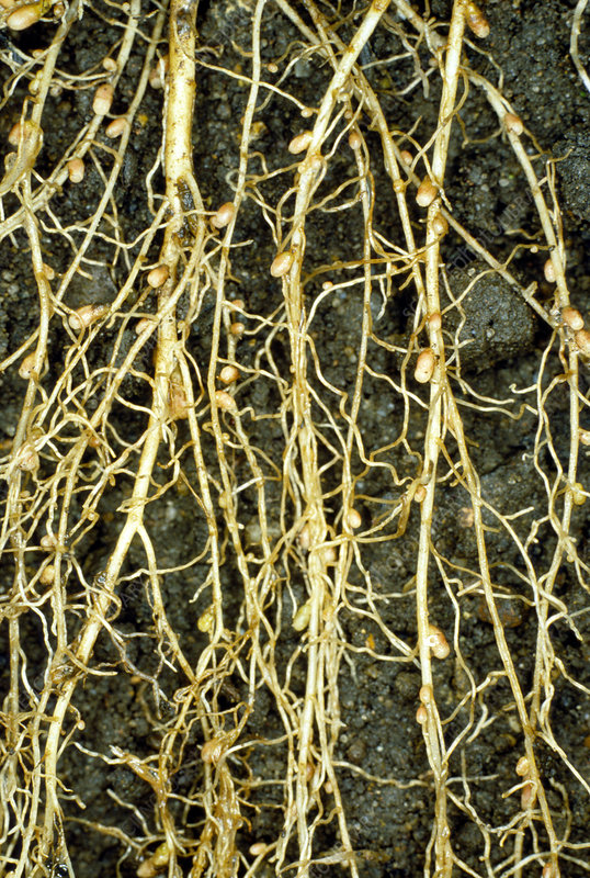 Root nodules on the roots of white clover