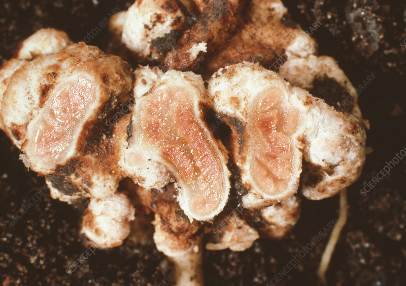 Nitrogen-fixing nodules on lupin root