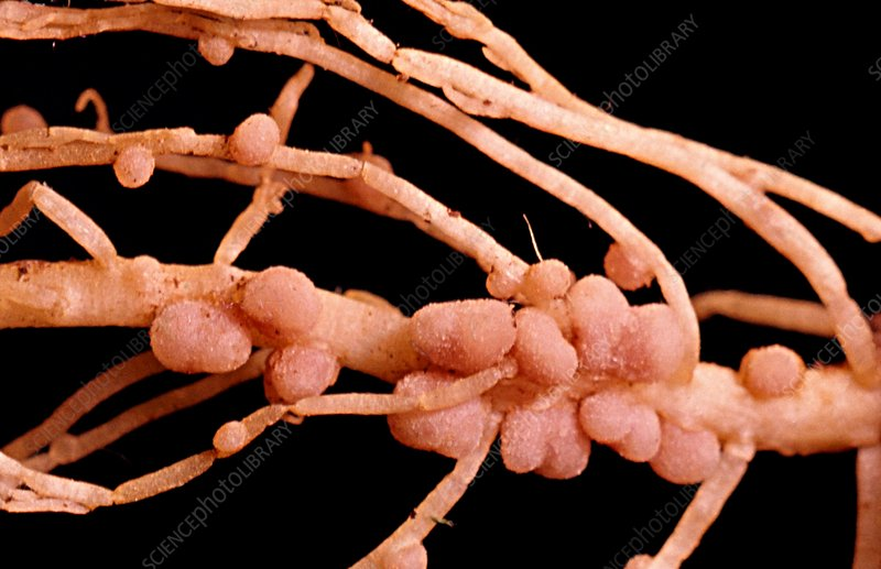 Nitrogen-fixing nodules on roots of pea plant